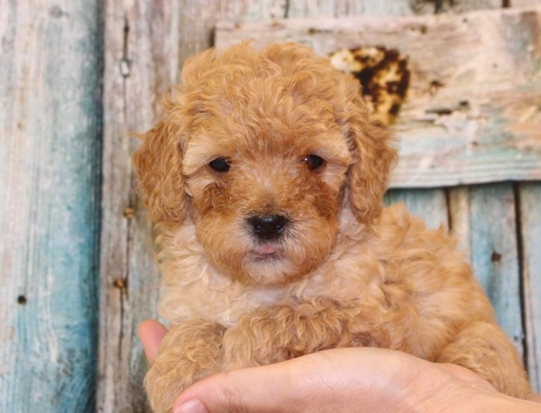 Puppies Archive - Arrowhead Labradoodles
