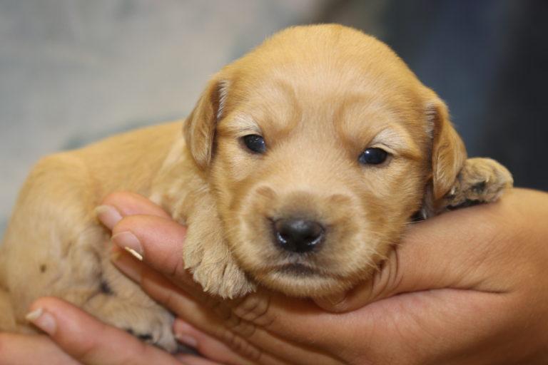 Puppies Archive - Arrowhead Labradoodles
